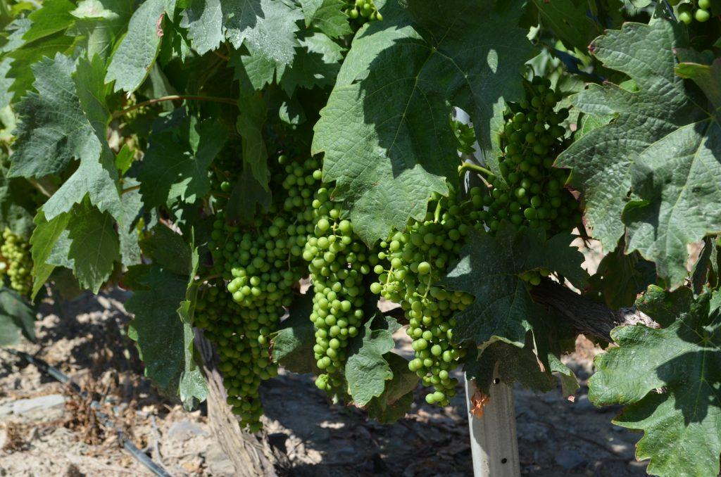 Las Uvas, todavía verdes, cuya calidad es la base de un buen vino.