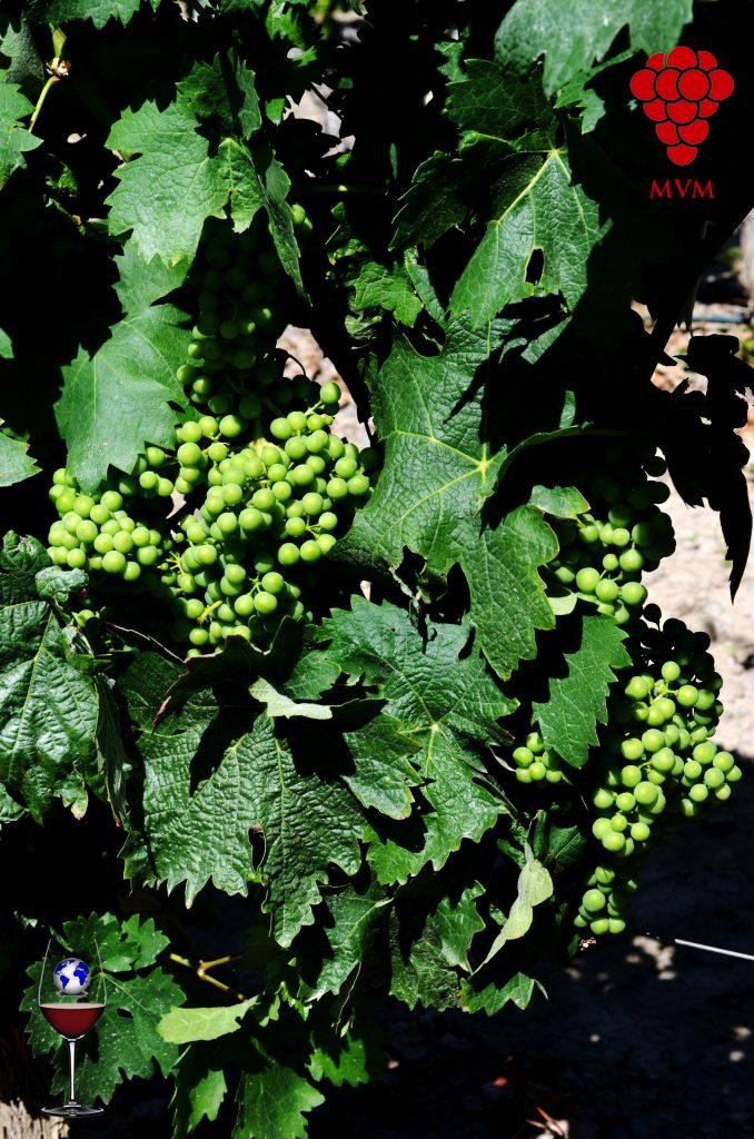 A la tarea de obtener de la Uva el mejor Vino posible se le llama Enología que reúne a su vez Ciencia, Arte y Pasión.