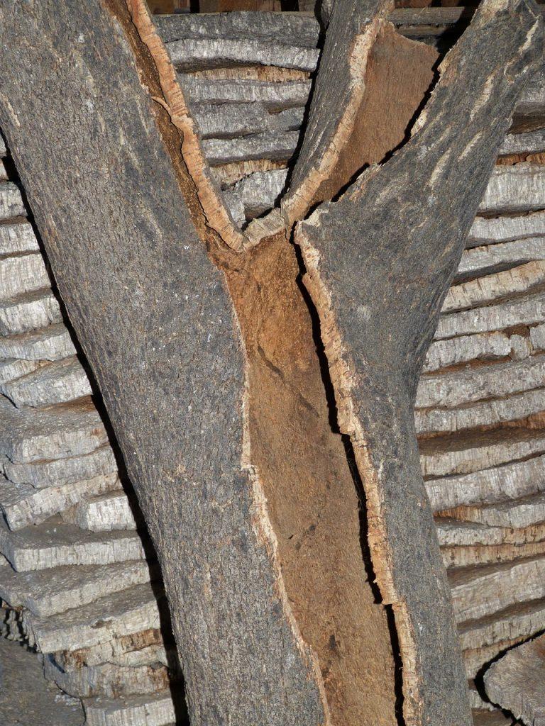 El guardián del Vino, el corcho se extrae de la corteza del Alcornoque, Quercus Suber. Este es e más valorado de los corchos para vino.
