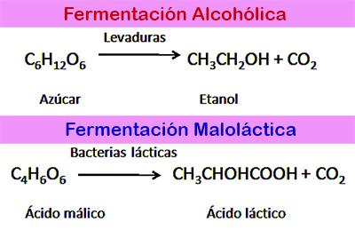 En la conversión del mosto en vino se producen dos tipos de fermentaciones: Fermentación alcohólica y fermentación maloláctica.