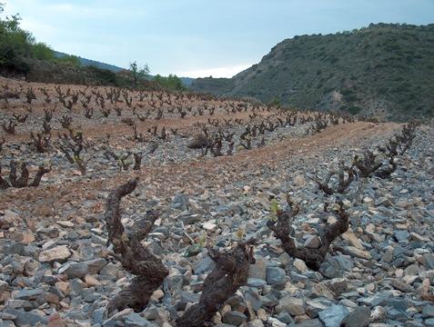 Cepas de bodegas forcada, donde nace su mejor vino, Alma.