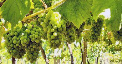 37,5 millones de kilos de uva se esperan para la vendimia de la DO Rías Baixas