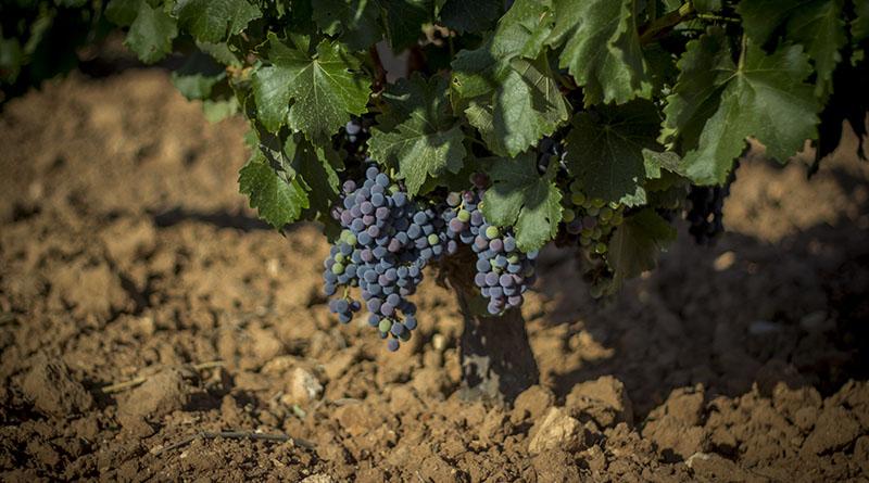 El Consejo Regulador La Mancha solicita la inclusión de la variedad Garnacha Tintorera en la Denominación de Origen La Mancha