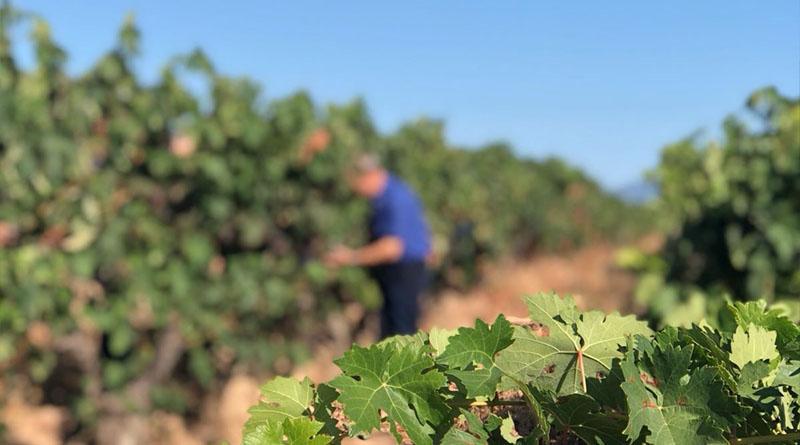 DOCa Rioja realiza el control de maduraciónn de la uva para determinar la fecha del comienzo de la vendimia 2020