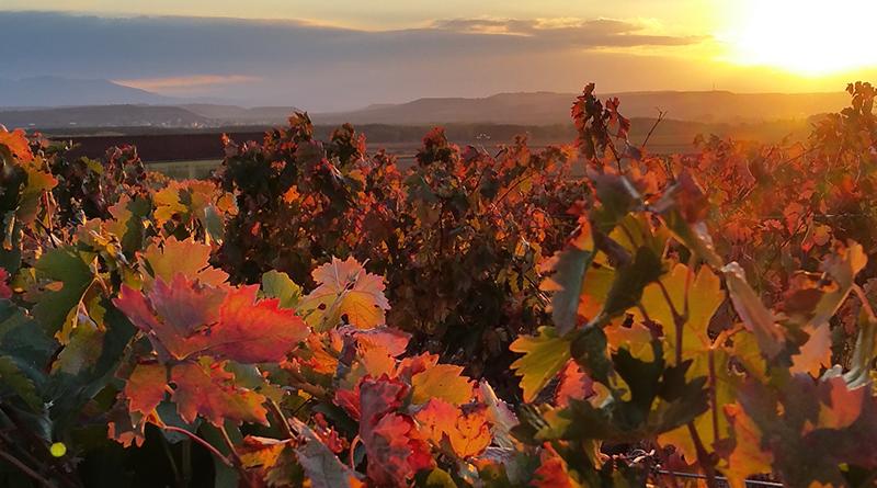 Nuevo gran hito de Viñedos Singulares para Rioja y ya cuenta con más de cien. Cuando un viñedo es galardonado con esta singularidad cumple con los requisitos del Ministerio de Agricultura, Pesca y Alimentación.