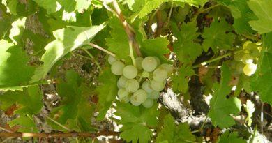 La uva Rufete Serrano Blanco autorizada en DOP Sierra de Salamanca