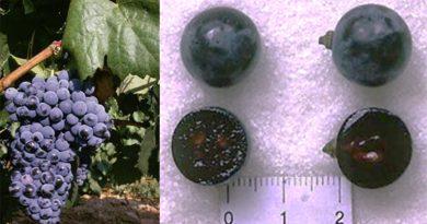 Garnacha Tintorera o Alicante Bouschet son distintos nombres para la misma variedad de uva según numerosos estudios y documentos que lo acreditan.